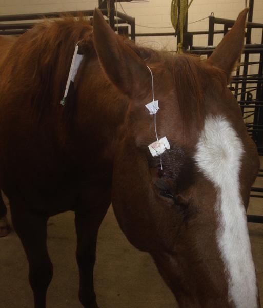 Horse receiving eye care