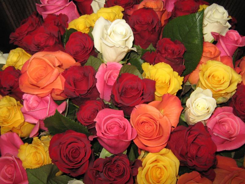 Saskatoon's Best Roses